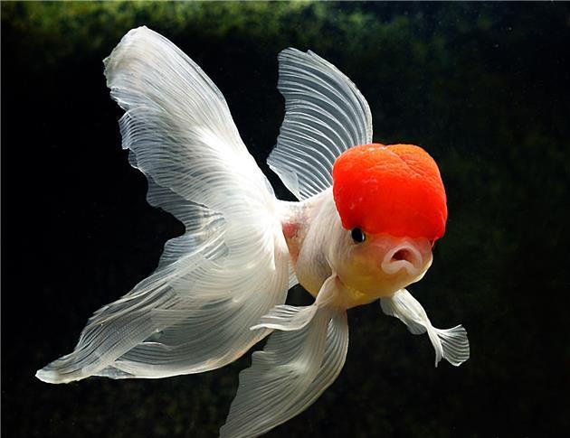 بدترین ماهِ عمرِ ماهی قرمزها