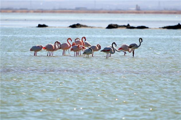 مهاجرت پنج هزار قطعه پرنده به تالاب میقان اراک