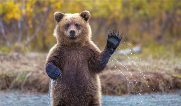 مشاهده دوقلاده خرس قهوهای در طالقان