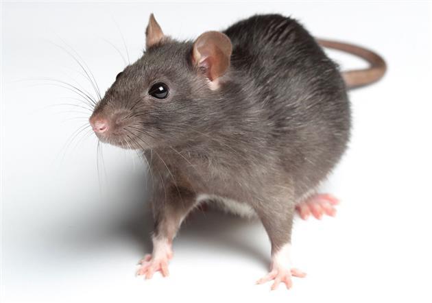 رییس مرکزمدیریت محیطزیست وتوسعه پایدار شهرداری تهران: موشهای آدمخوار درتهران صحت ندارند