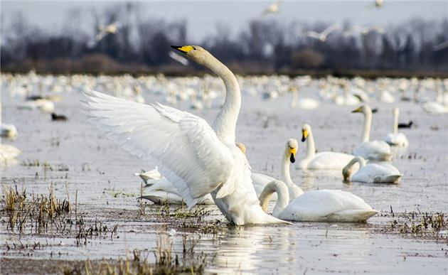 Sorkhrud wetland, a refuge for migratory birds