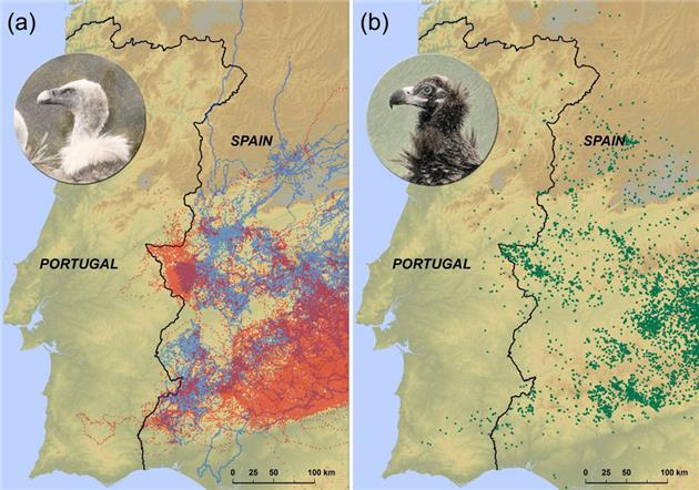 Vultures avoid Portugal because of carrion ban