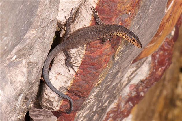 خطر انقراض در کمین خزندگان استرالیایی