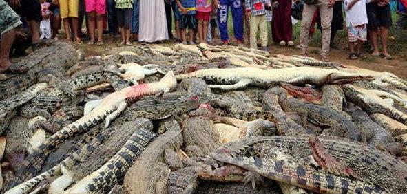 کشتار ۳۰۰ کروکودیل به دست مردم محلیِ اندونزی