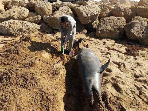 تلف شدن یک قطعه دلفین بینی بطری در سواحل چابهار