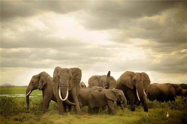 تلف شدن ۱۱۵ راس فیل به دلیل خشکسالی در زیمبابوه