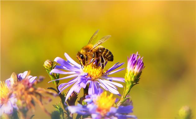 حُقه زنبورها برای زود گل دادنِ گیاهان