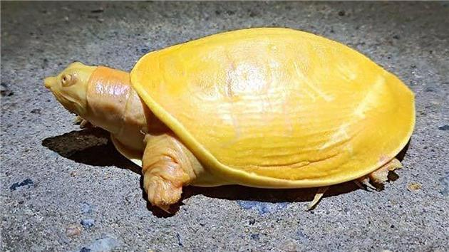 تولد لاک پشت نادر زرد
