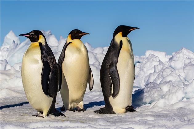 کشف کلونیهای جدید پنگوئنهای امپراطور در جنوبگان