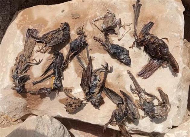 مرگ پرندگان در سواحل گناوه