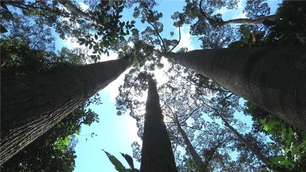 یک سوم از درختان جهان با خطر انقراض روبرو هستند