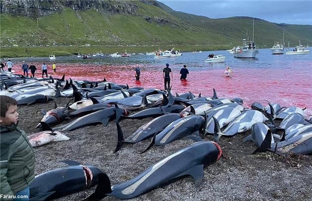 """خشم عمومی به دنبال کشتار صدها دلفینِ جزایر """"فارو"""" در دانمارک"""