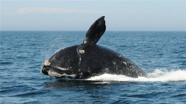 نجات بچه «نهنگ قاتل» در نزدیکی سواحل روسیه